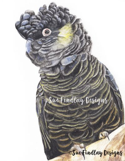 Yellow-Tail-Black-Cockatoo_sml