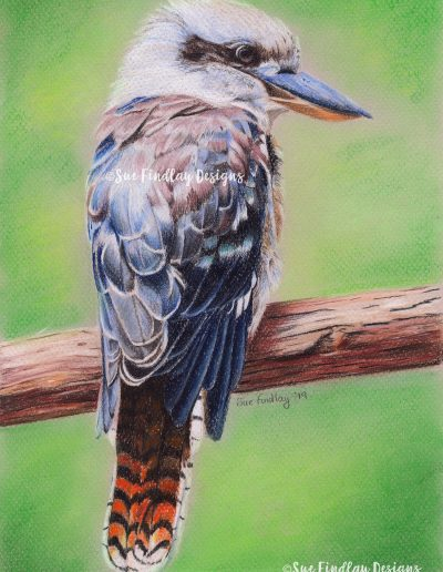Kookaburra_watermarked