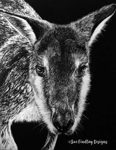 Swamp-Wallaby_1200px